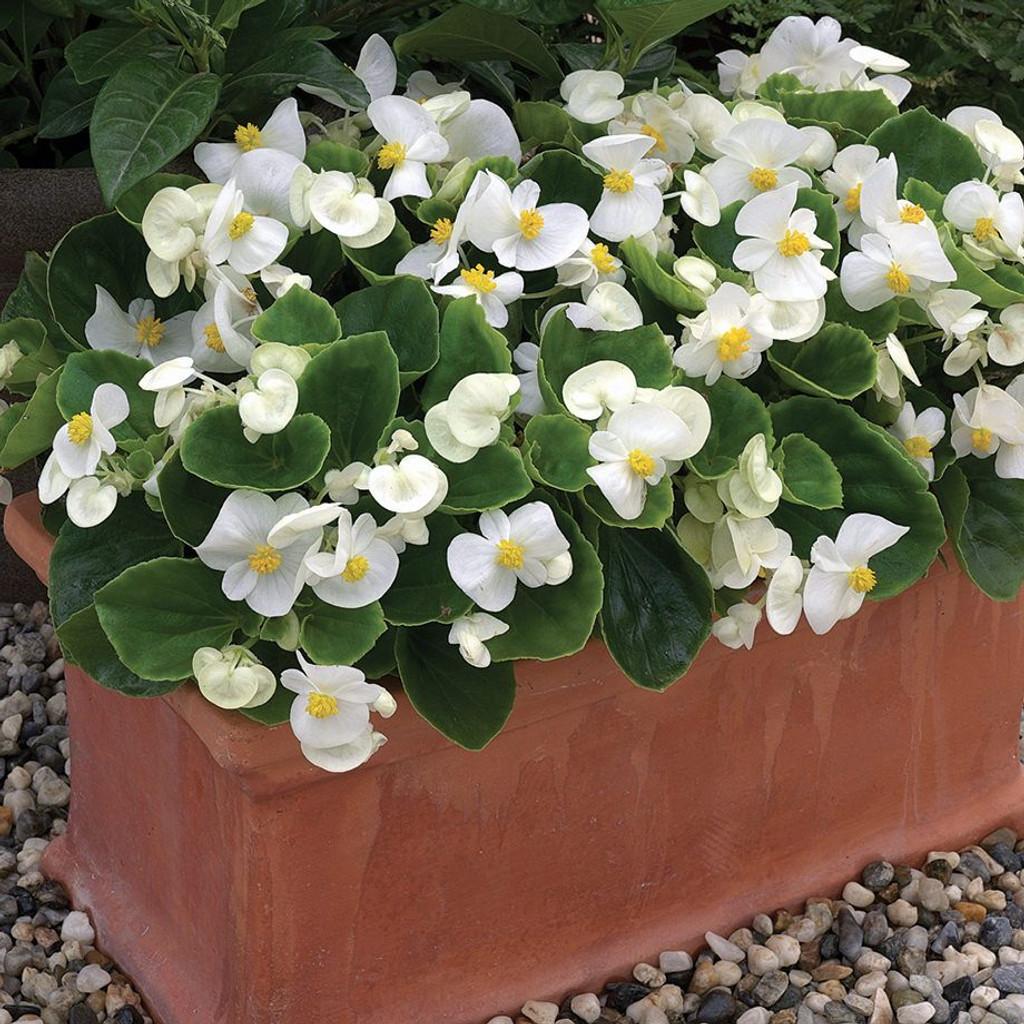 Wax Begonia White