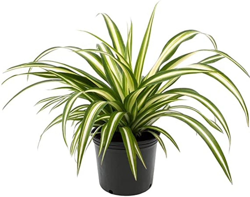 "Spider Plant 'Chlorophytum comosum' 4"" and 8"""