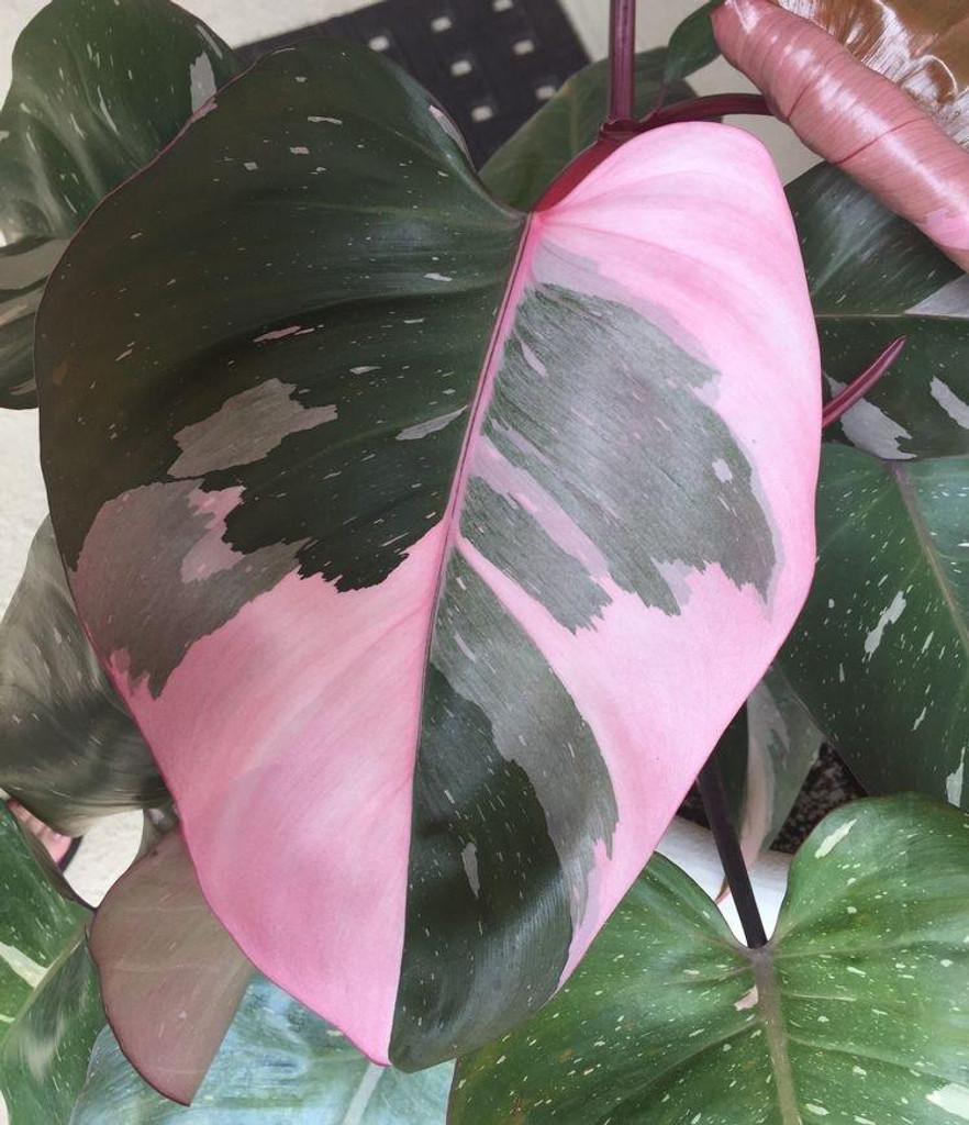 """Philodendron 'Pink Princess' 3"""" or 4"""""""