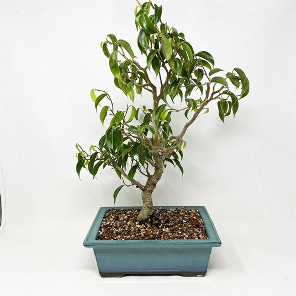 Wiandi Ficus