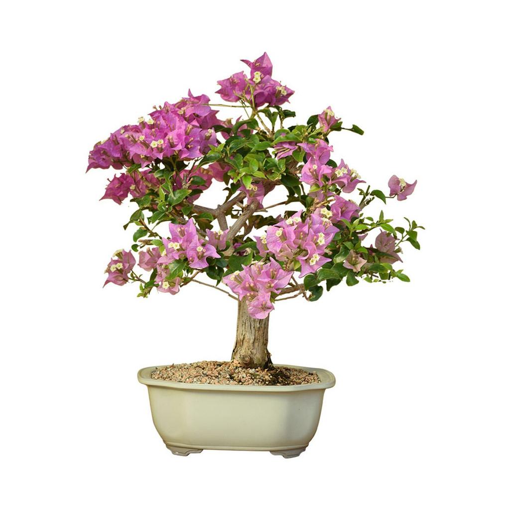 Bougainvillea Flowering (Refined)