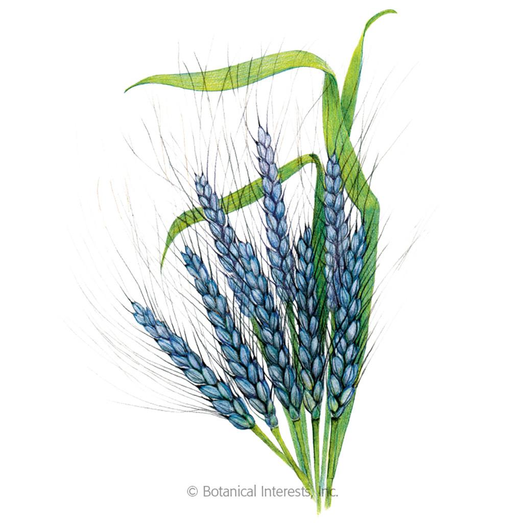 Utrecht Blue Wheat Organic
