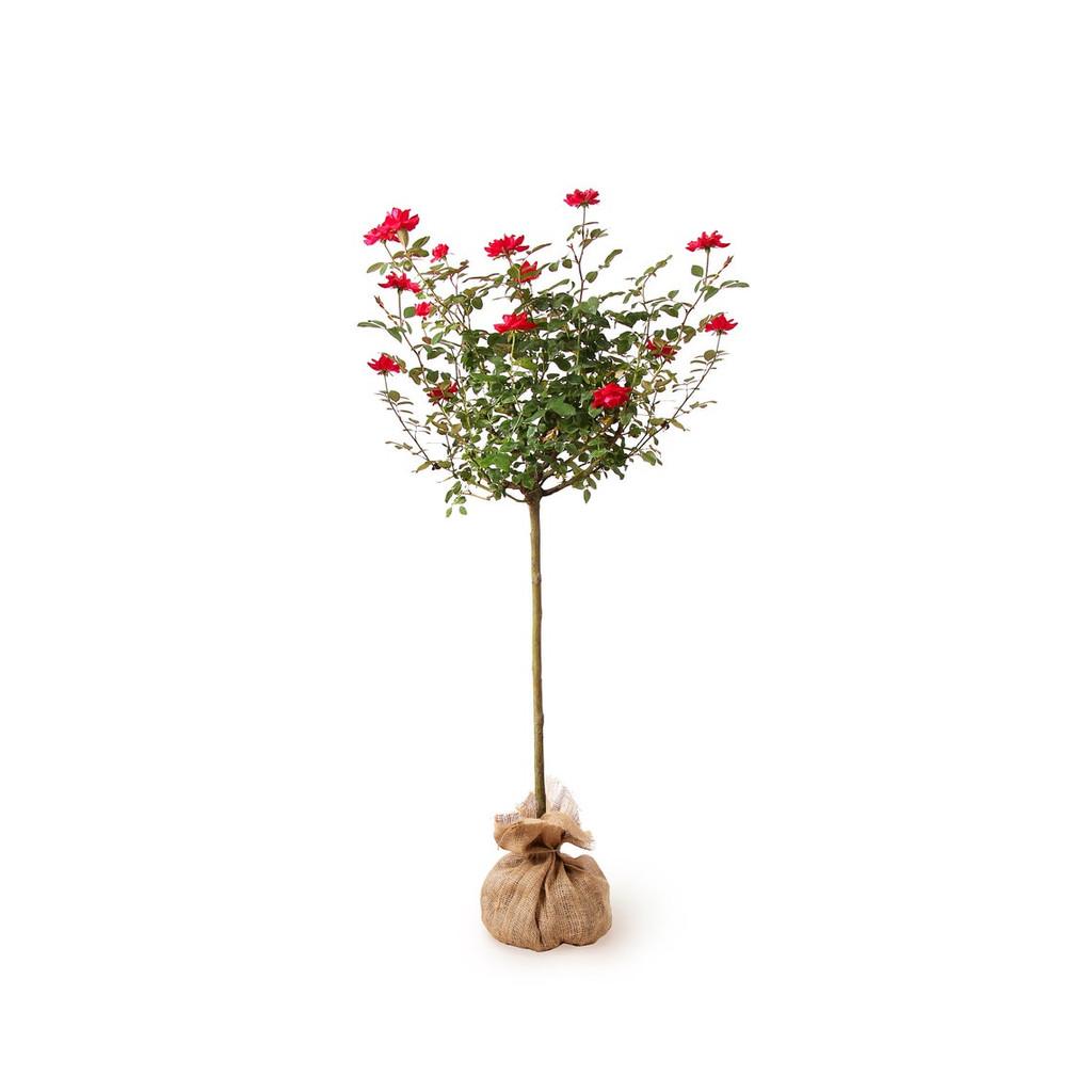 Rose Climbing Espalier and Rose Hybrid Tree 3g 10g