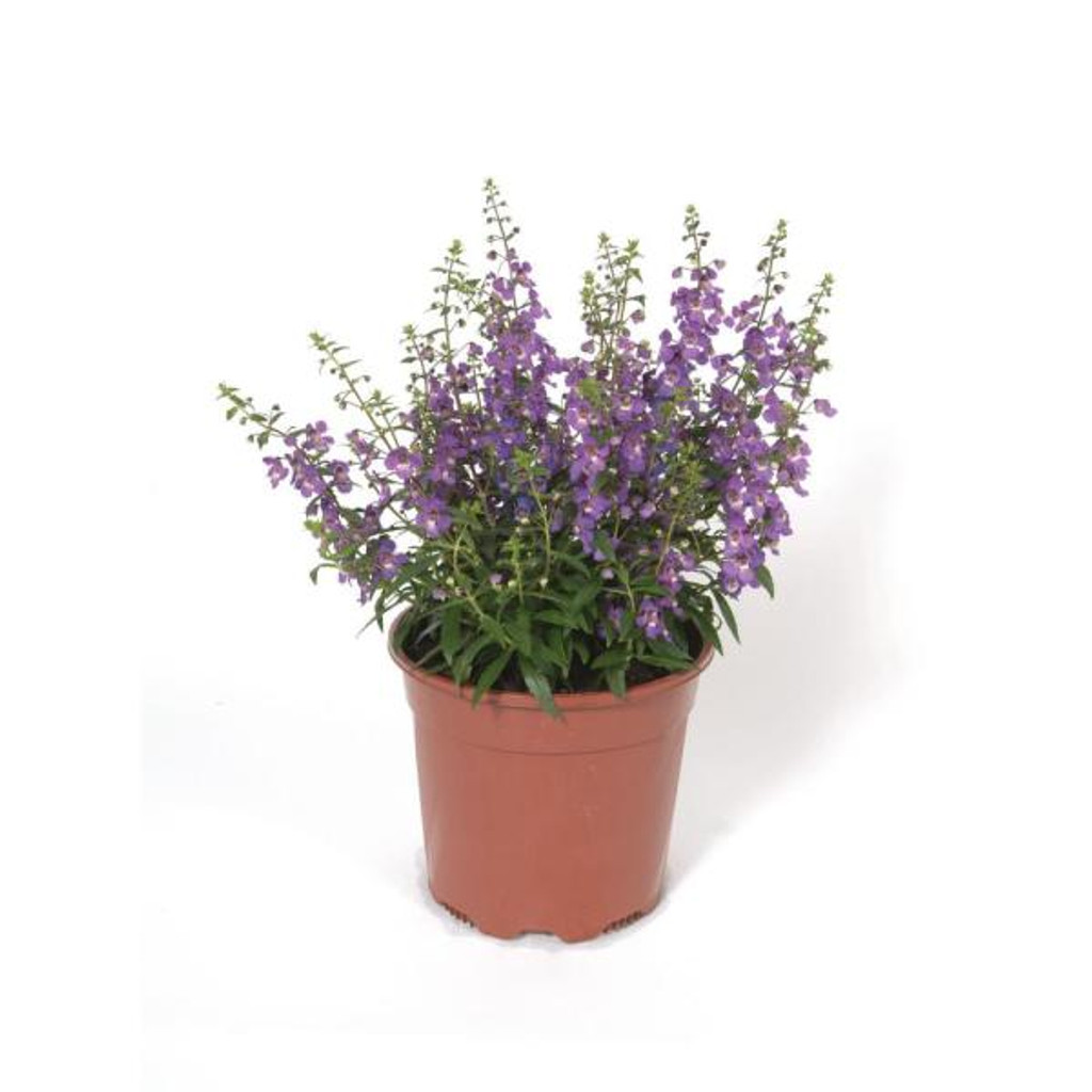 "Angelonia 'angustifolia' 4"""