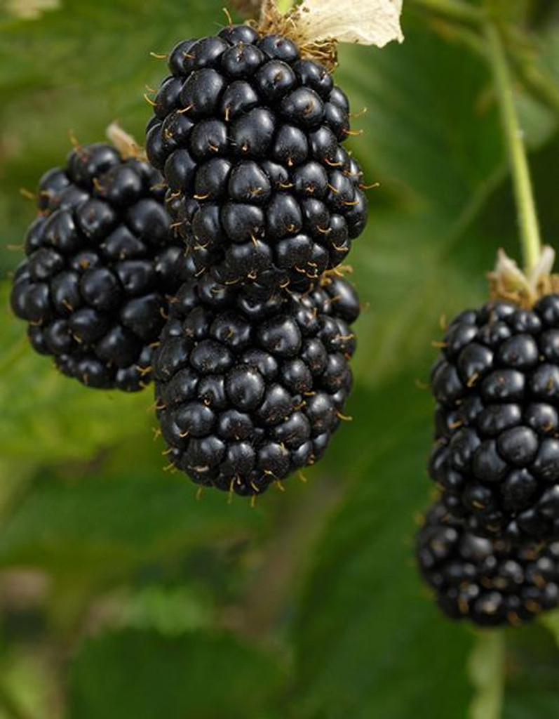 Rubus Blackberry and Raspberry  3qt