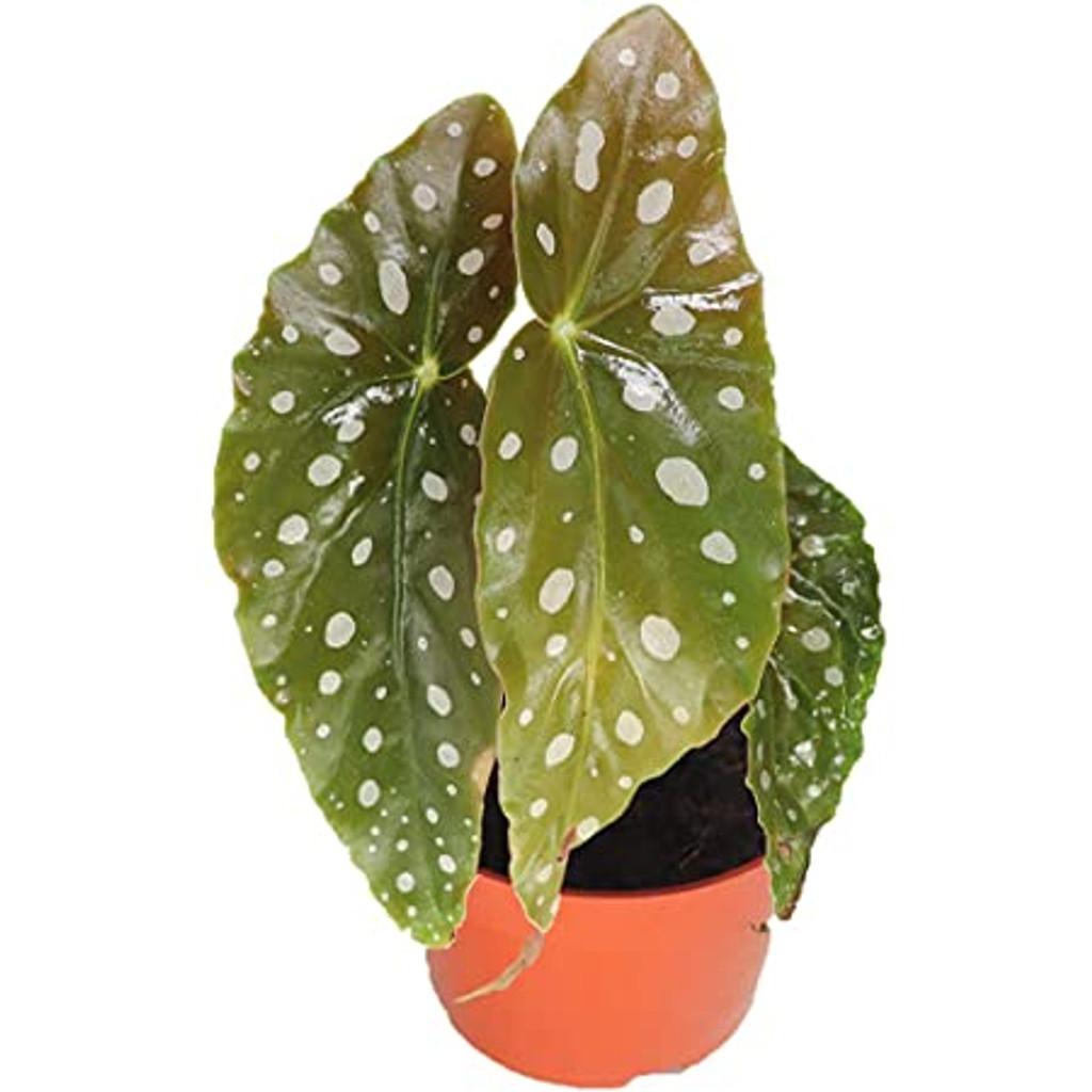 """Begonia Maculata 'Polka Dot' 4.5"""""""