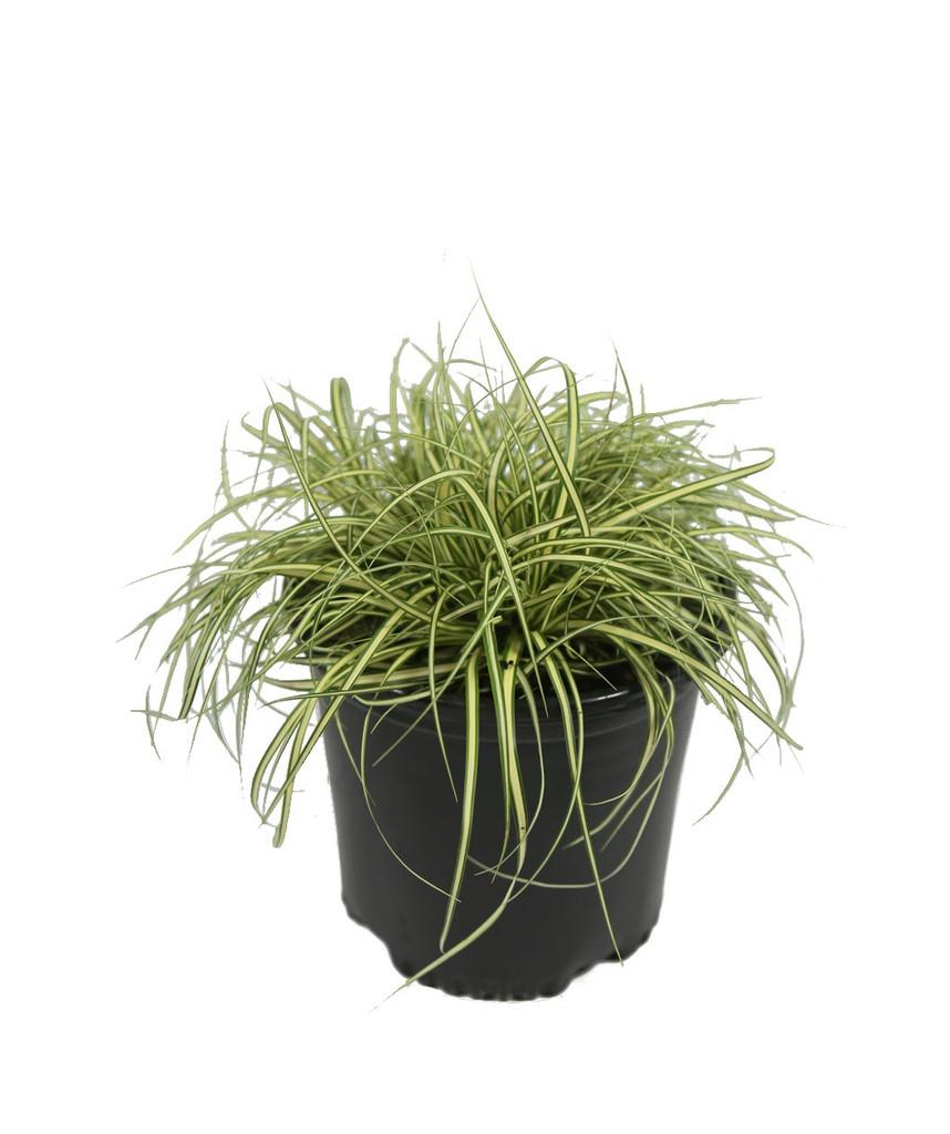 Carex 1g