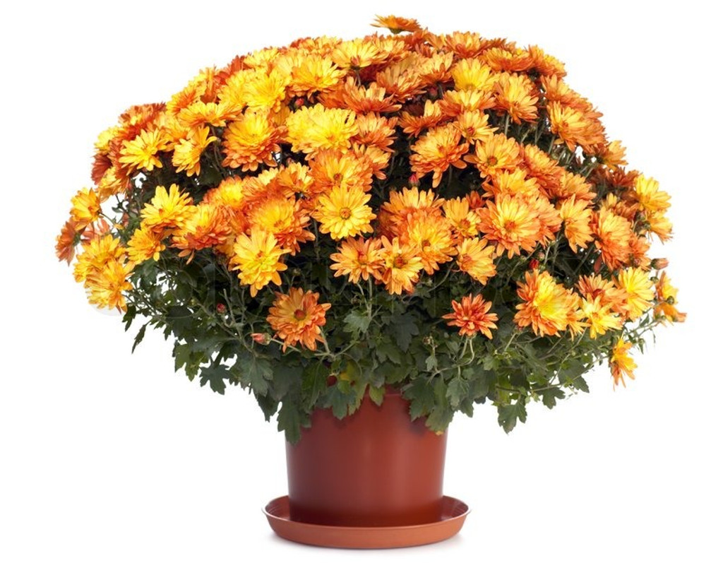 Chrysanthemum (mum - outdoor)