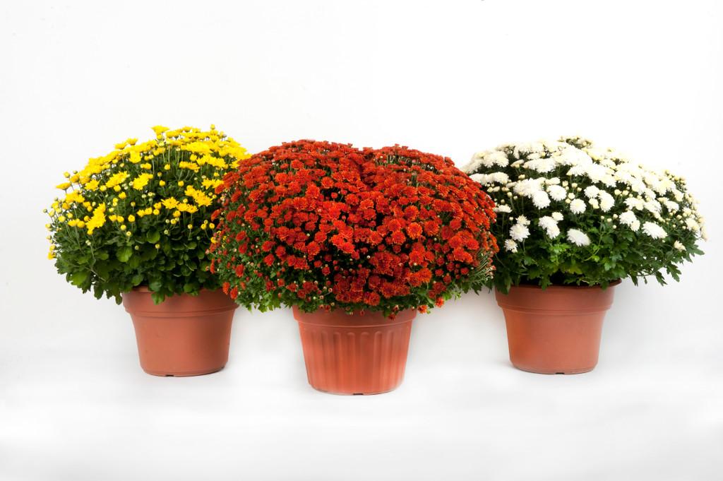 "Chrysanthemum Hardy 'Mum' 4.5"" 6"" or 9"""
