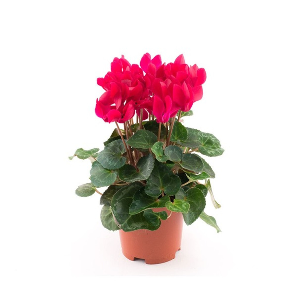 """Cyclamen 4.5"""" and 6"""""""