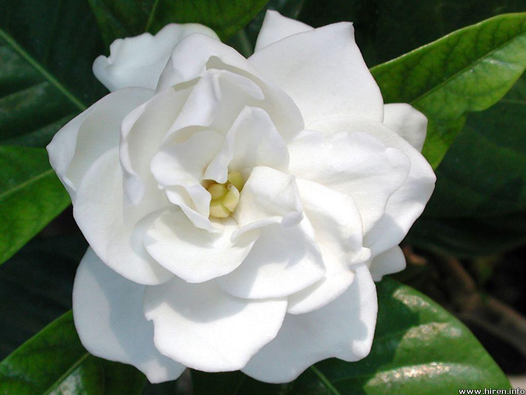 "Gardenia 6"" 8"" 10"" 12"" 14"""