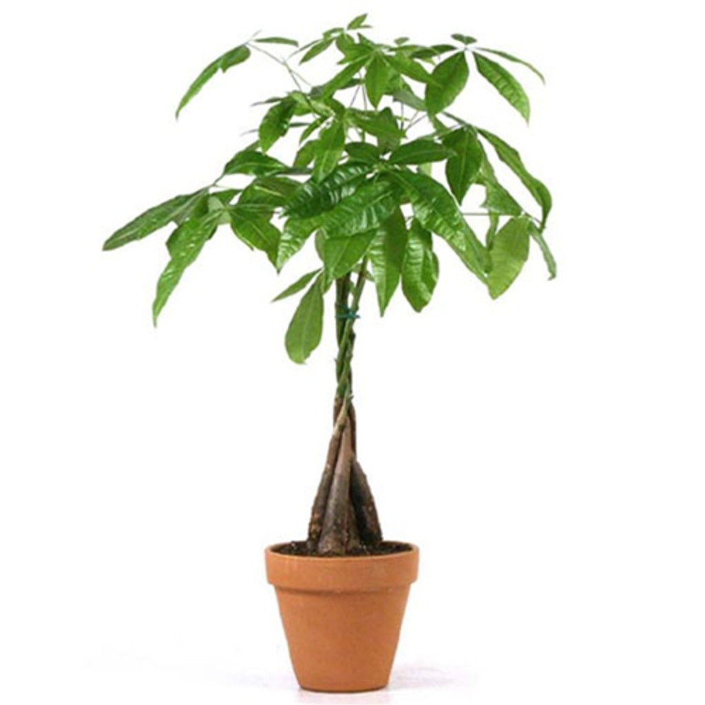 "Pachira aquatica 'Money Tree' 10"""