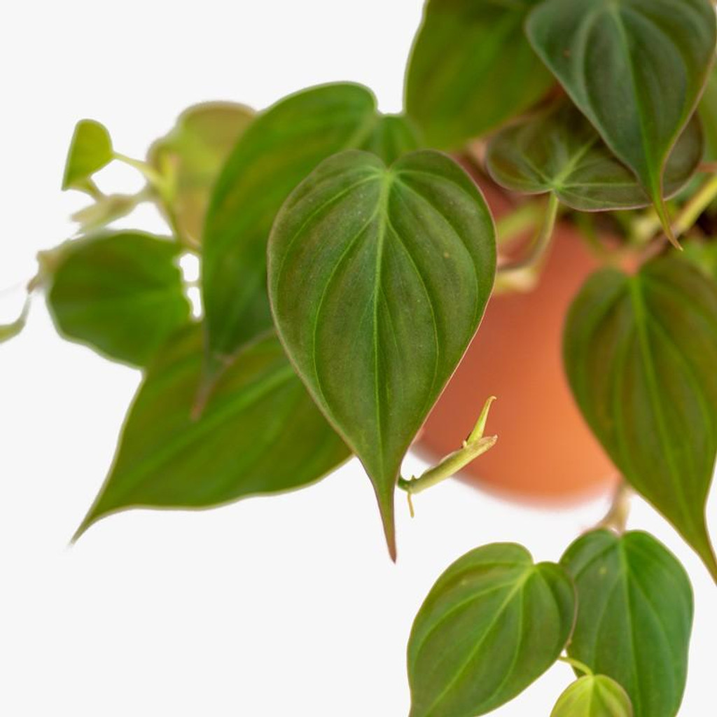 Philodendron Mican in a hanging basket