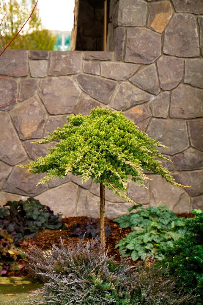 Dwarf Japanese Garden Juniper Juniperus procumbens 'Nana' 3g