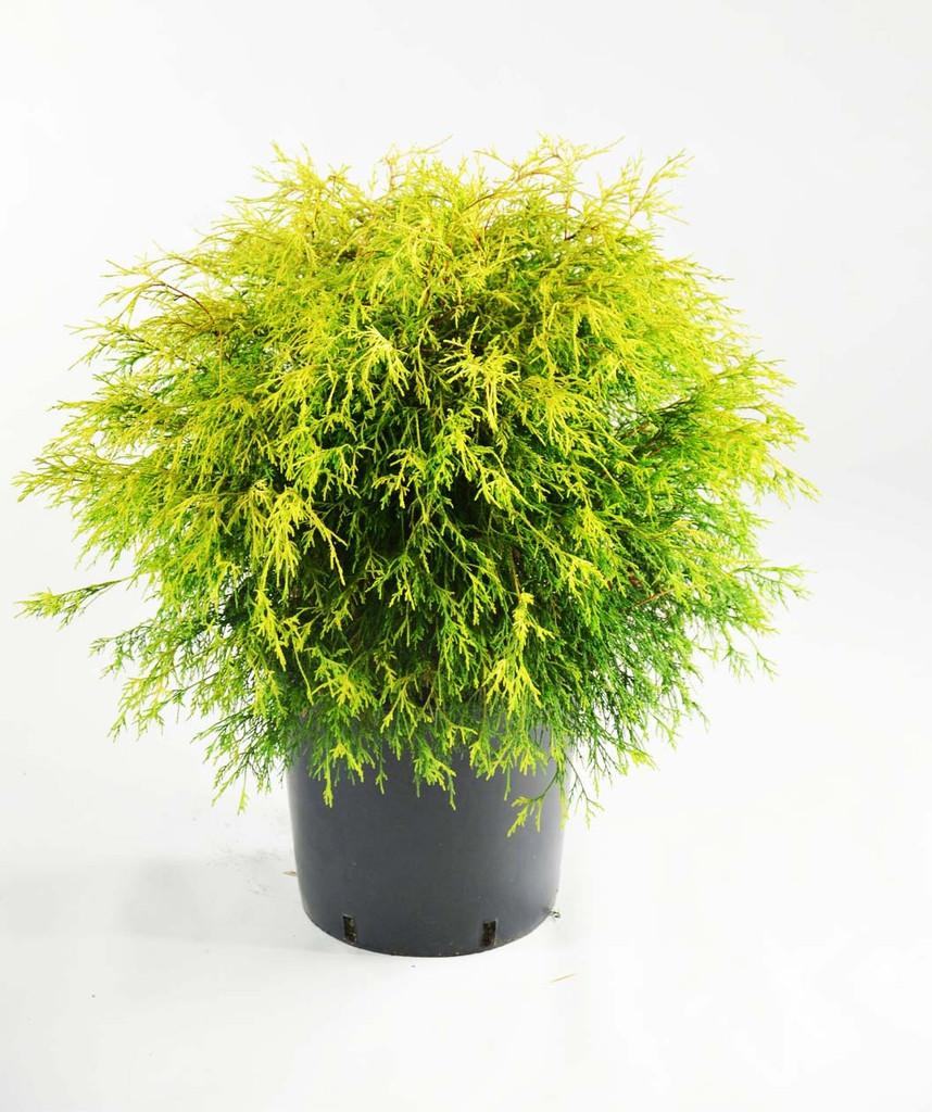 Cypress Chamaecyparis pisifera 'Golden Mop' false cypress 3g