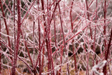 Dogwood Red Twig  Cornus alba 'Elegantissima' 3g