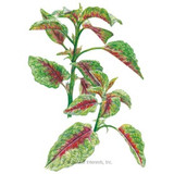 Amaranth Edible Red Leaf