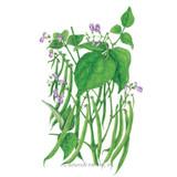 Bean Bush (Green) Blue Lake 274 Organic