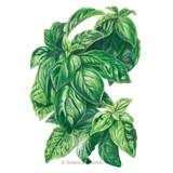 Basil Italian Genovese Organic