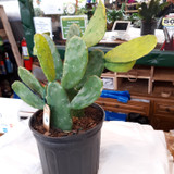 "Cactus Plants Assorted 2"" or 3"""