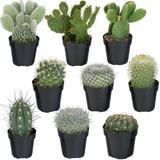 "Cactus Plants Assorted 2"" 3"" 4"""