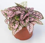 """Hypoestes phyllostachya 'Polka dot' Plant 4"""""""