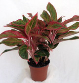 "Aglaonema 'Chinese Evergreen'  6"" 14"""