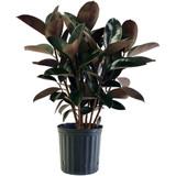 """Ficus Elastica """"Rubber Plant"""" 4"""" 6"""" 8"""" 10"""" 14"""""""