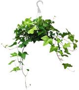 "Ivy Algerian in a Hanging Basket 8"""