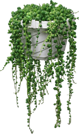 """String of Pearls/Beads in a Hanging Basket 6"""""""