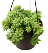 Burro's Tail  in a Hanging Basket 6""
