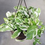 """Pothos Pearls & Jade in a Hanging Basket 8"""""""