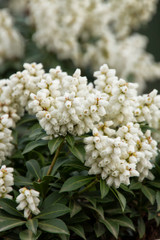 Pieris japonica 'Lily of the Valley' 1g