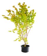 Maple Tree Japanese Acer palmatum Coral Bark 'Sango Kaku'