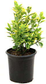 Euonymus japonicus 'Silver King' 3g