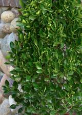 Euonymus kiautschovicus 'Manhattan' Espalier 2g 5g 10g
