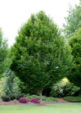 Carpinus betulus 'Fastigiata' Columnar European Hornbeam