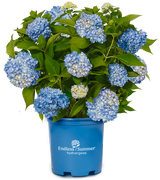 Hydrangea 'Endless Summer' Blue 3g