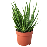 "Aloe Vera ""Hedgehog"" Plant 6"""