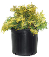 Golden Hinoki False Cypress 'chamaecyparis crippsii' 2g
