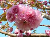 Cherry Tree 'Kwanzan' 15g