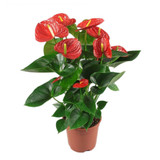 """Anthurium Red or Red/White Variegated  6"""""""