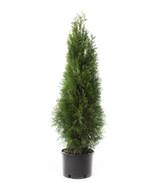 Arborvitae 'Thuja' Assorted
