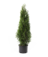 Arborvitae 'Thuja' Assorted 1g to 7ft
