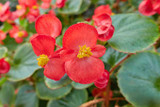Wax Begonia Red