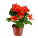 """Begonia Rieger 4.5"""""""