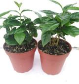 "Coffee Plant 4"""