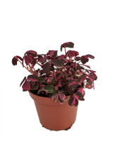 """Oxalis Plant Purple or Gold 4.5"""""""