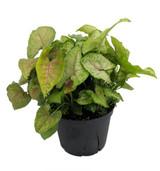 "Nephthytis 'Arrowhead' Plant 4"" 6"""