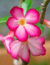 """Desert Rose 'Adenium obesum' 2"""""""